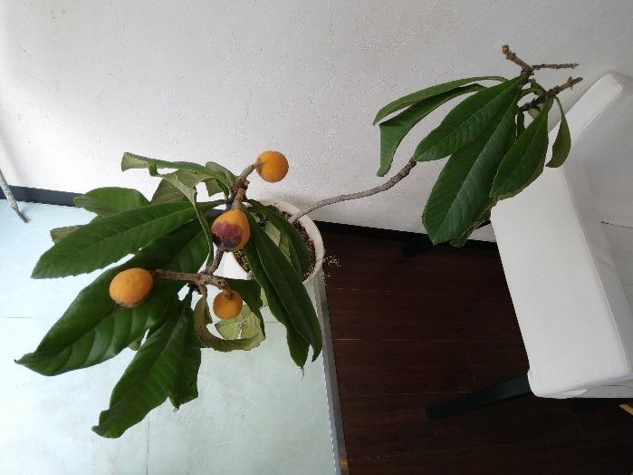 ビワの実がなりました。