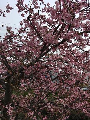 もう桜が。
